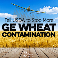 Tell USDA to stop more GE wheat contamination