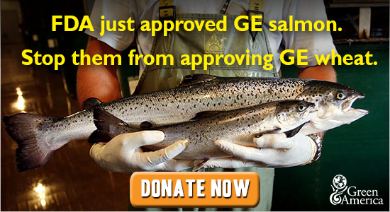 FDA just approved GE salmon. We must stop them from approving GE wheat.